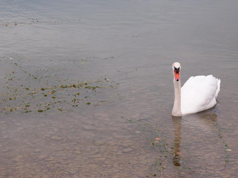 Schwan im oberen Lechsee
