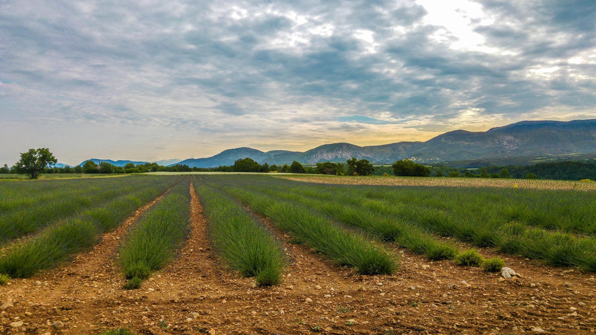 Lavendel in der Provence - Ein Hauch von Lila ist schon zu erkennen