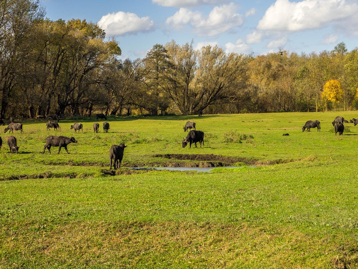 Büffelreservat in Kápolnapuszta