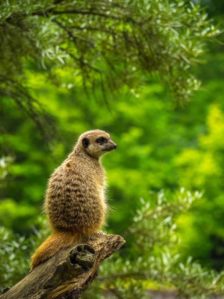 Erdmännchen im Tierpark Cottbus - Reisejahr 2020
